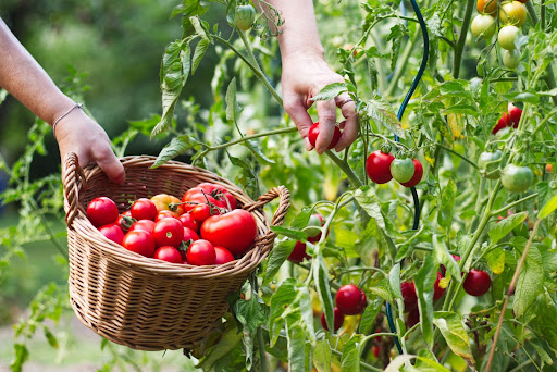 A person harvesting tomatoes from their tomato plant