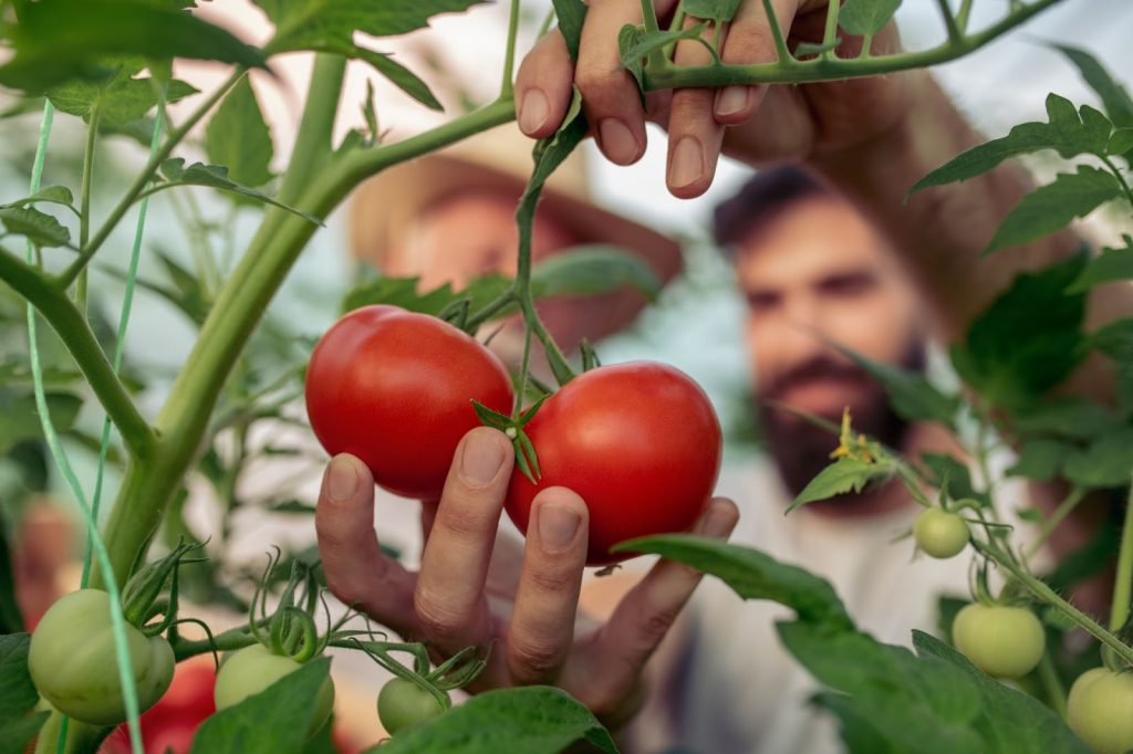 This image shows two men looking and adjusting their tomatoes